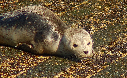 Seal pup resting