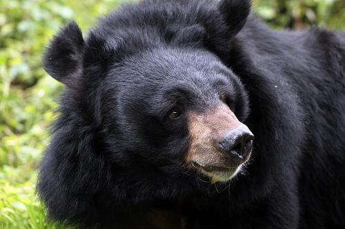 Himalayan black bear, Darjeeling, India