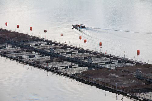 Farmed salmon pens 4