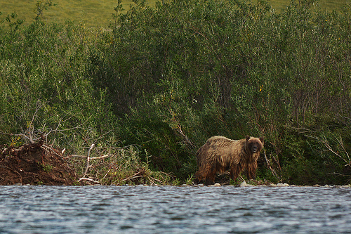 Grizzly Bear on the Anaktuvuk River, North Slope, Alaska