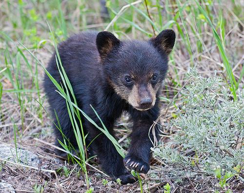 Black Bear, Spring Cub, Yellowstone National Park