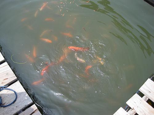 Fish in the fish farm